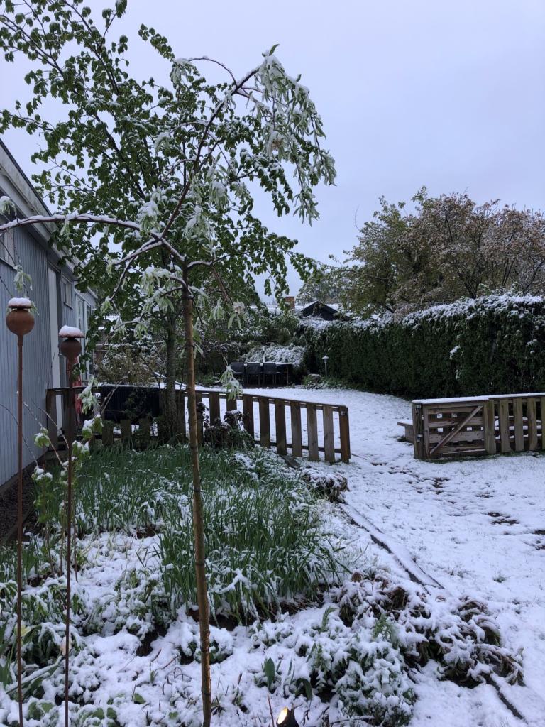 Snöig trädgård