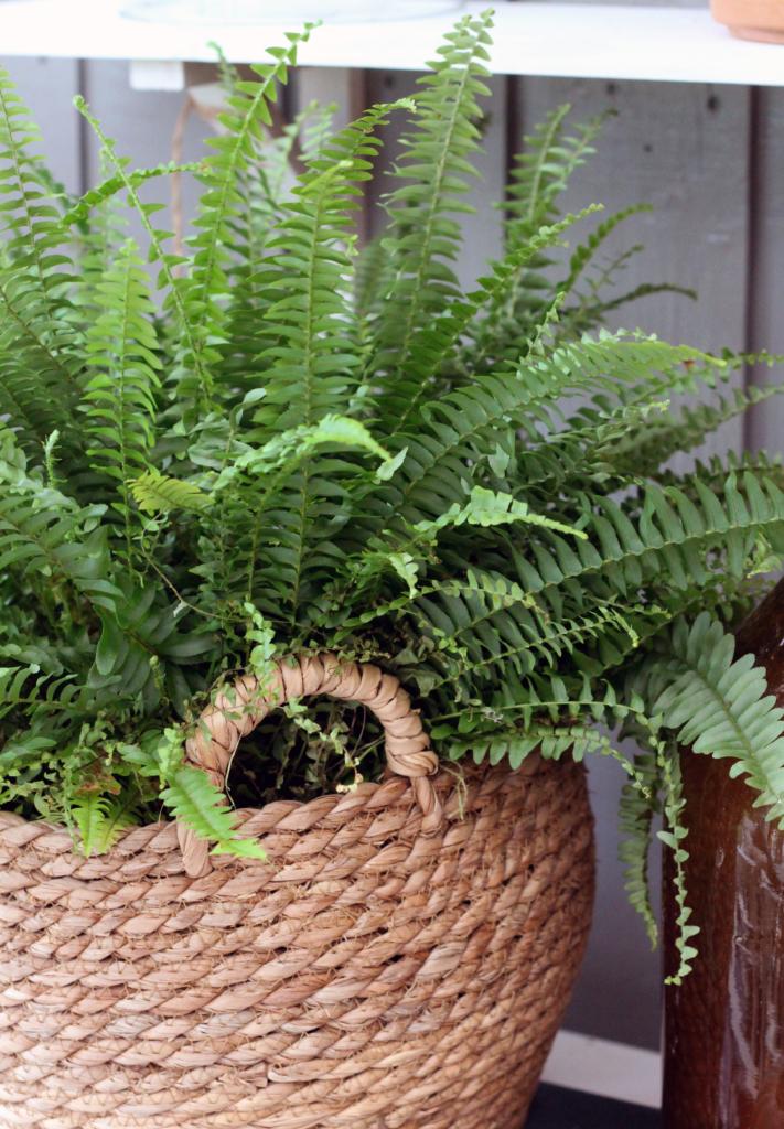 Växt med spetsig form