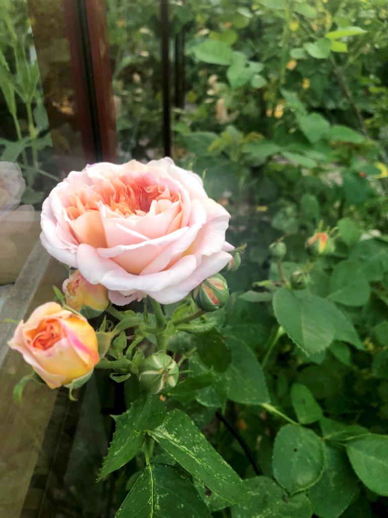Sticklingar av rosor- vilken lycka!
