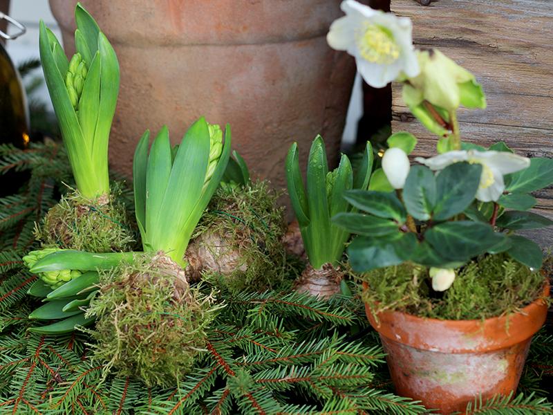 Älskade hyacinter